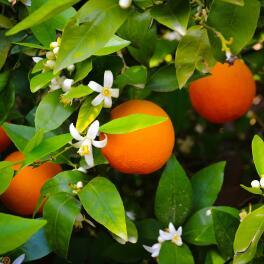 Parfum-d'origine-naturelle-:-Fleur-d'Oranger