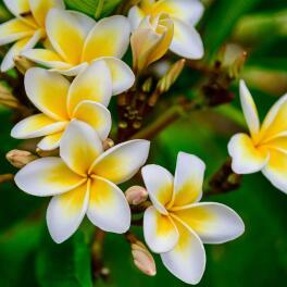 Parfum-d'origine-naturelle-:-Fleur-de-Frangipanier