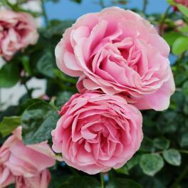 Parfum-d'origine-naturelle-:-Lait-de-Rose