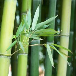 Parfum-d'origine-naturelle-:-Sève-de-Bambou