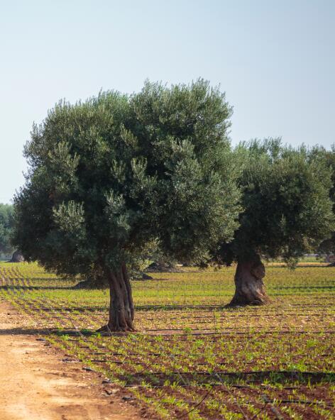 kl_olive_ingredient_active_field -1-
