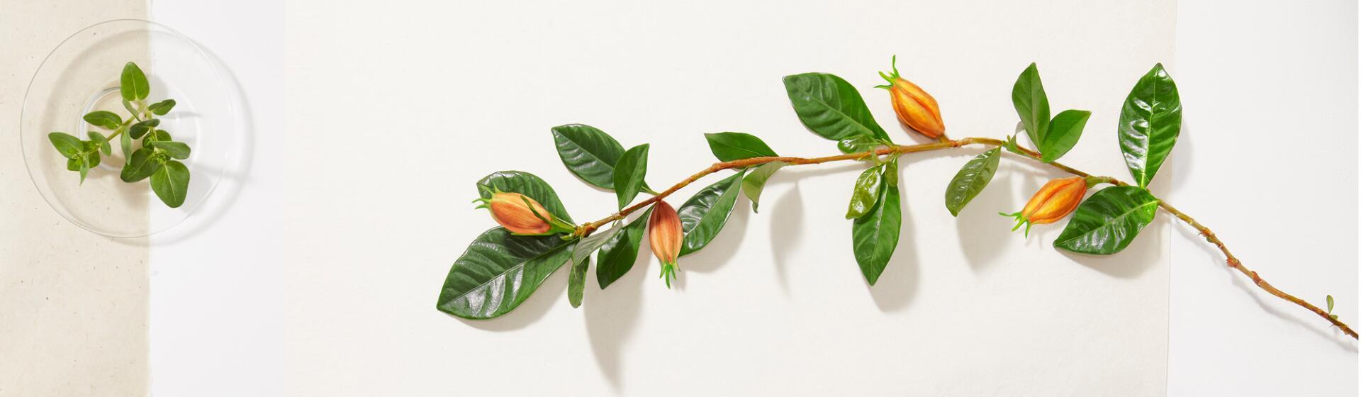 rf_ivive_banniere_gardenia_