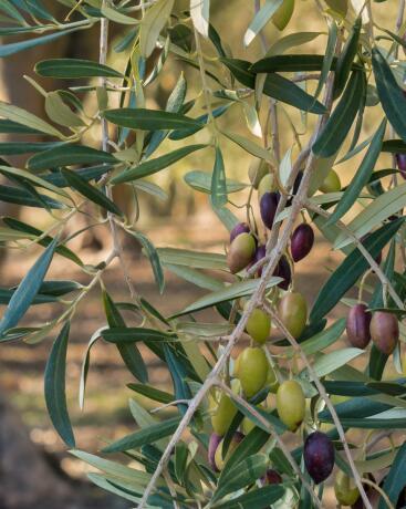 kl_olive_ingredient_active_field -2-