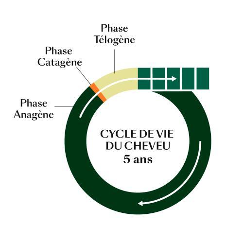 rf-cycle-de-vie-du-cheveu