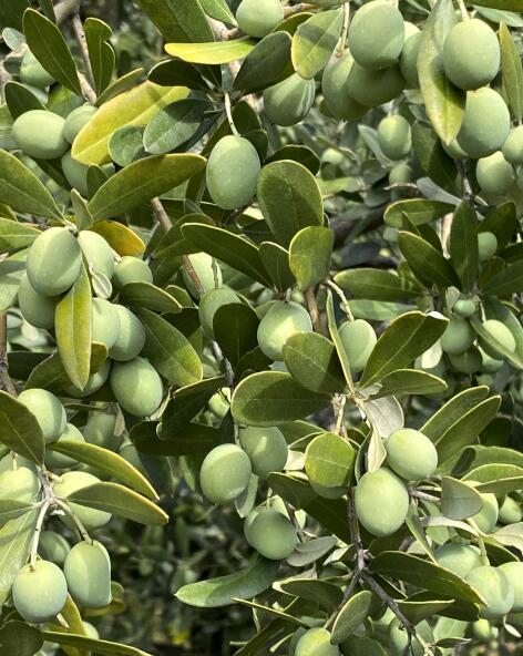 kl_olive_ingredient_active_field -3-