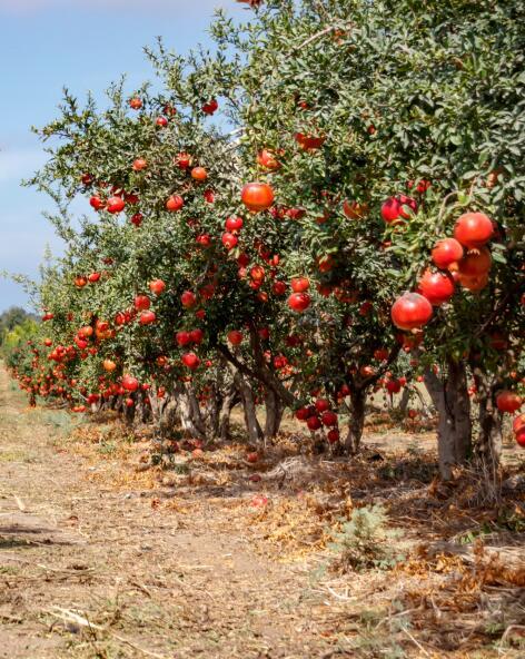 kl_pomegranate_ingredient_active_field -1-