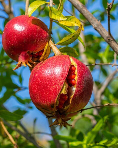 kl_pomegranate_ingredient_active_field -2-