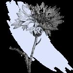 kl_cornflower_active-ingredient_engraving_300x300px
