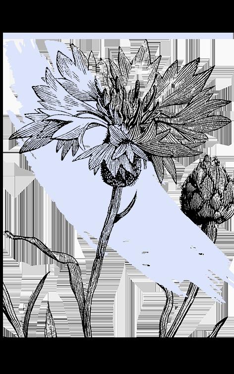 kl_cornflower_active-ingredient_engraving_756x472px