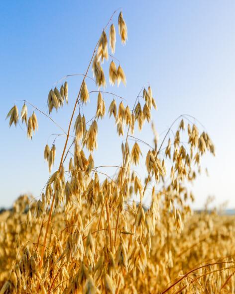 kl_oat_active-ingredient_field_plant_2017 -9-