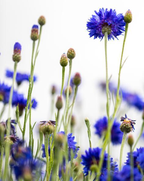 kl_cornflower_active-ingredient_field_plant_2020-23-