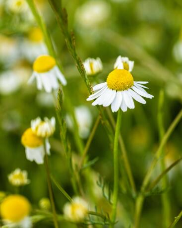 kl_chamomile_active-ingredient_field_plant_2019 -1-