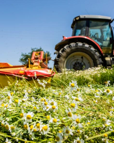 kl_chamomile_active-ingredient_field_plant_2019 -62-