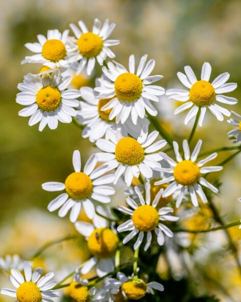 kl_chamomile_active-ingredient_field_plant_2019 -64-