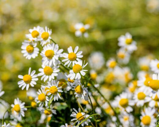 kl_chamomile_active-ingredient_field_plant_2019 -63-