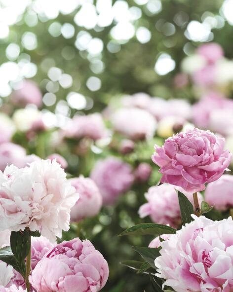 kl_peony_actif_picture