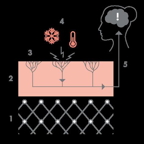 av_peaux-sensibles_schema_recepteurs-sensoriels_1x1