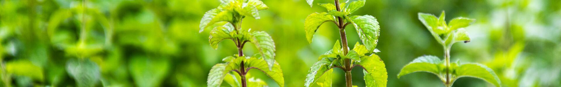 kl_mint_active-ingredient_field_plant_2019 -10-