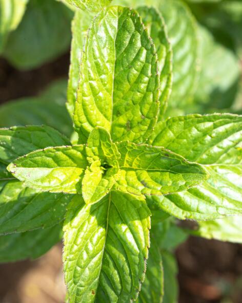 kl_mint_active-ingredient_field_plant_2019 -3-
