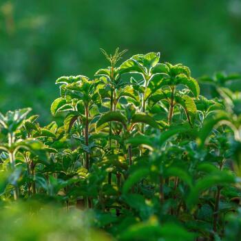 kl_mint_active-ingredient_field_plant_2019 -125-