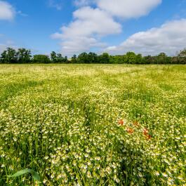 kl_chamomile_active-ingredient_field_plant_2019 -9-