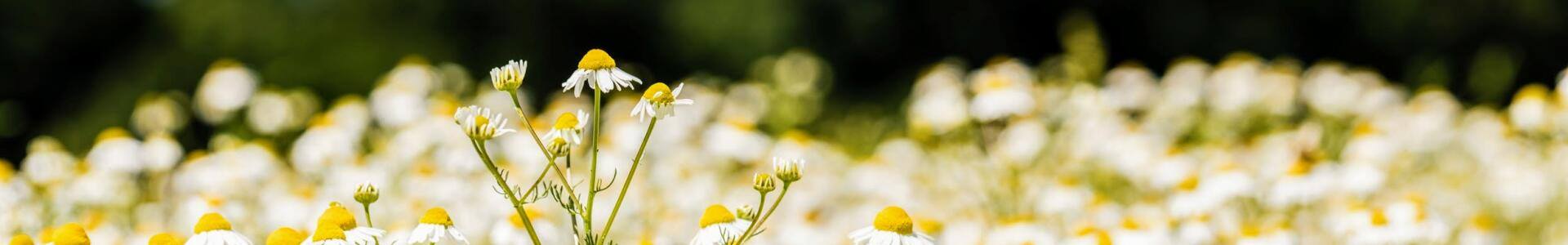 kl_chamomile_active-ingredient_field_plant_2019 -72-