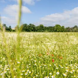kl_chamomile_active-ingredient_field_plant_2019 -15-