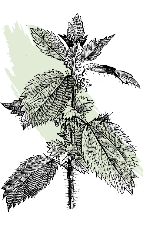 kl_nettle_active-ingredient_engraving_756x472px