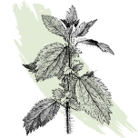 kl_nettle_active-ingredient_engraving_300x300px