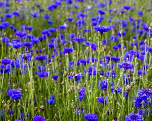 kl_cornflower_active-ingredient_field_plant_2020-7-