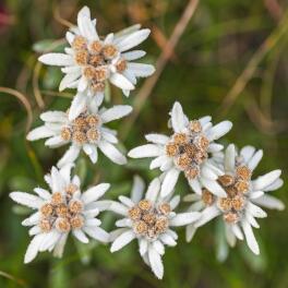 Edelweiss-Bio