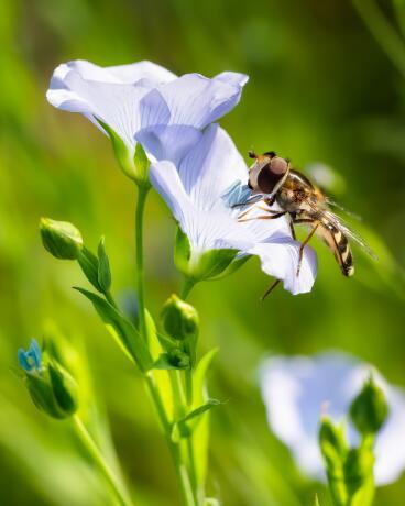 kl_flax_active-ingredient_field_plant_2019 -1-