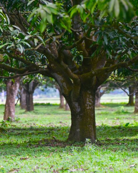 kl_mango_active-ingredient_stock_website_active-page -4-
