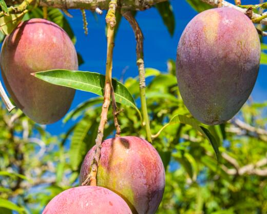 kl_mango_active-ingredient_stock_website_active-page -5-